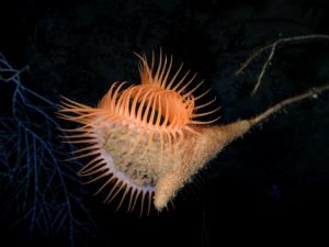 Actinoscyphia aurelia