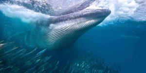 Michael Aw Humpback Whale