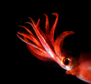 Deep ocean octopus